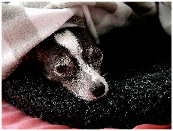 chihuahua is depressed | pet portrait photography pictures | Pinole